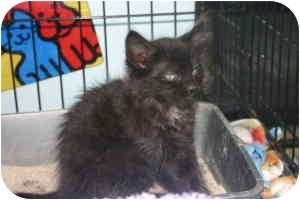 Domestic Mediumhair Kitten for adoption in Tracy, California - Daria-ADOPTED!
