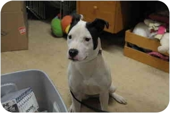 Pit Bull Terrier Mix Dog for adoption in Marion, Wisconsin - Marilyn