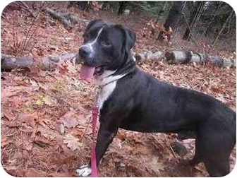 Boxer/Pit Bull Terrier Mix Dog for adoption in kennebunkport, Maine - Segar - Foster Needed!