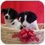 Photo 2 - Labrador Retriever/Border Collie Mix Puppy for adoption in Burnsville, North Carolina - Marlon & Chips