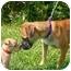 Photo 3 - Shar Pei/Shepherd (Unknown Type) Mix Puppy for adoption in Avon, New York - Pumpkin