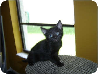 Domestic Shorthair Kitten for adoption in Tampa, Florida - Kung Pao
