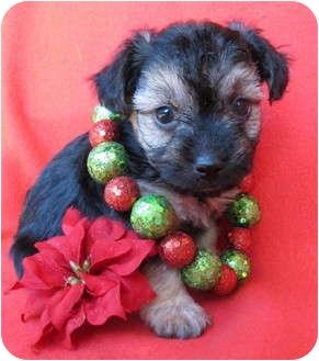 Schnauzer (Miniature)/Poodle (Miniature) Mix Puppy for adoption in Irvine, California - St. Nick