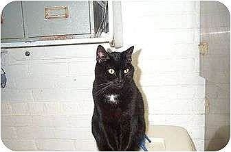 Domestic Shorthair Cat for adoption in Beacon, New York - Maybelline