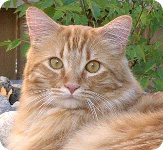 Maine Coon Cat for adoption in Davis, California - Garfield