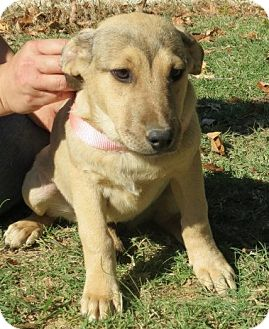 Labrador Retriever Mix Puppy for adoption in Williston, Vermont - Savannah