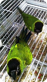 Conure for adoption in Hubertus, Wisconsin - Charlee & Hooligan