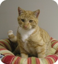 Domestic Shorthair Cat for adoption in Creston, British Columbia - Shiner