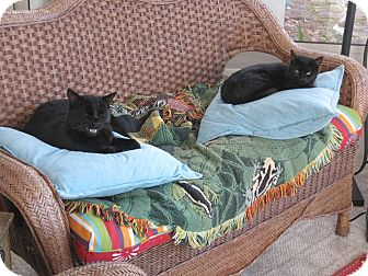 Domestic Shorthair Cat for adoption in Winder, Georgia - *Maresca2