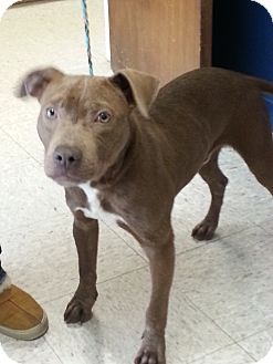 Pit Bull Terrier Mix Puppy for adoption in Indianapolis, Indiana - Jackson