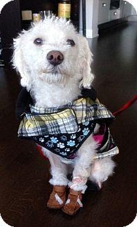 Poodle (Miniature)/Bichon Frise Mix Dog for adoption in Toronto, Ontario - Twiggy