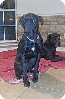 Great Dane Dog for adoption in Austin, Texas - Lula