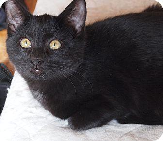 Bombay Cat for adoption in Buhl, Idaho - Sheeba