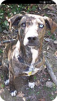 Plott Hound Mix Dog for adoption in Nashville, Tennessee - Cheyenne