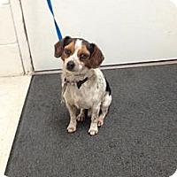 Adopt A Pet :: Snoopy - Lancaster, VA