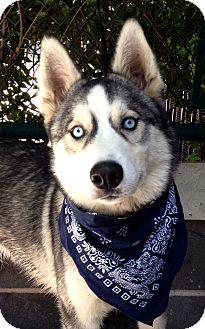Siberian Husky Mix Dog for adoption in Dublin, California - Rio