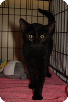 Domestic Shorthair Kitten for adoption in Houston, Texas - La Rue