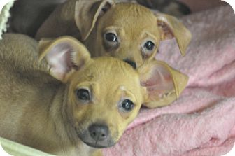 Chihuahua/Dachshund Mix Puppy for adoption in Tumwater, Washington - Blue, boo, blueberry