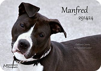 Terrier (Unknown Type, Medium)/Retriever (Unknown Type) Mix Dog for adoption in Troy, Michigan - Manfred