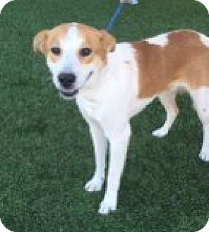 Australian Cattle Dog Mix Puppy for adoption in Las Vegas, Nevada - Boomer