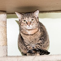 Domestic Shorthair Cat for adoption in Chicago, Illinois - Asia
