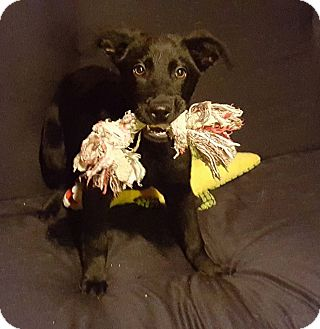 Collie/Labrador Retriever Mix Puppy for adoption in Lyndhurst, New Jersey - Bobby
