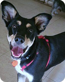Labrador Retriever/Australian Cattle Dog Mix Puppy for adoption in Phoenix, Arizona - Zeke
