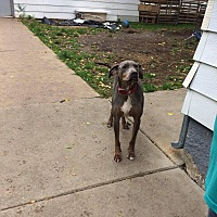 Doberman Pinscher/Pit Bull Terrier Mix Dog for adoption in Sioux Falls, South Dakota - Chief