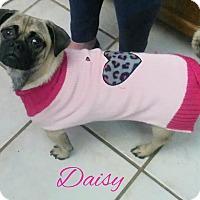 Adopt A Pet :: Daisy - House Springs, MO