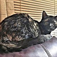 Domestic Shorthair Cat for adoption in Petersburg, Virginia - Precious