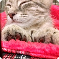 Adopt A Pet :: Paloma - polydactyl - South Bend, IN