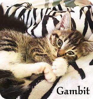 Domestic Mediumhair Kitten for adoption in Flint HIll, Virginia - GAMBIT