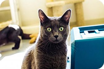 Domestic Shorthair Cat for adoption in Boise, Idaho - Rogue
