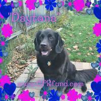Adopt A Pet :: Daytona - Lowell, IN