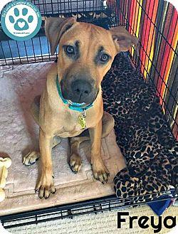 Labrador Retriever Mix Puppy for adoption in Kimberton, Pennsylvania - Freya