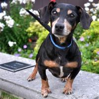 Dachshund Mix Dog for adoption in Northbrook, Illinois - Roscowe