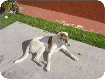 Pointer Mix Dog for adoption in Albuquerque, New Mexico - Pec