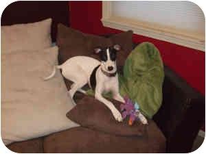 Italian Greyhound Dog for adoption in Centinnial, Colorado - Beau