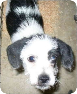Terrier (Unknown Type, Small) Mix Puppy for adoption in Sacramento, California - Archie!