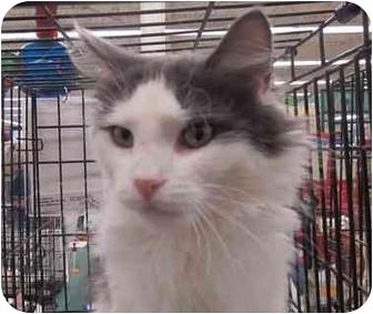 Domestic Longhair Cat for adoption in Washington, Pennsylvania - Pandora