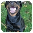Photo 3 - Rottweiler Dog for adoption in Sacramento, California - Bear purebred