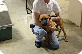 Boxer/Rottweiler Mix Puppy for adoption in Hershey, Pennsylvania - Kolby