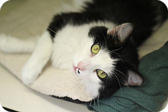 Domestic Longhair Cat for adoption in Chicago, Illinois - Alabaster