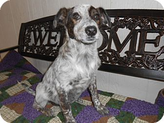 Cattle Dog Mix Puppy for adoption in East Hartford, Connecticut - Speckles MEET ME 11/8