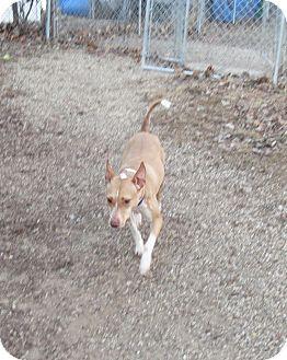Pharaoh Hound/Basenji Mix Dog for adoption in Geneseo, Illinois - Ziva