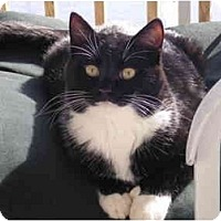 Adopt A Pet :: Thumbs - and my sister Smudge - Syracuse, NY