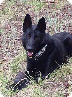 German Shepherd Dog Dog for adoption in Buena Vista, Colorado - Shadow