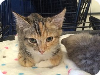 Calico Kitten for adoption in Los Angeles, California - Ginger