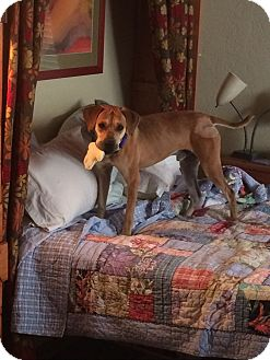 Black Mouth Cur Dog for adoption in Holmes Beach, Florida - Copper