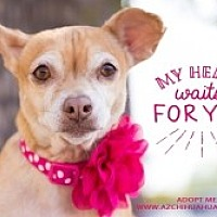 Chihuahua Mix Dog for adoption in Mesa, Arizona - Lady